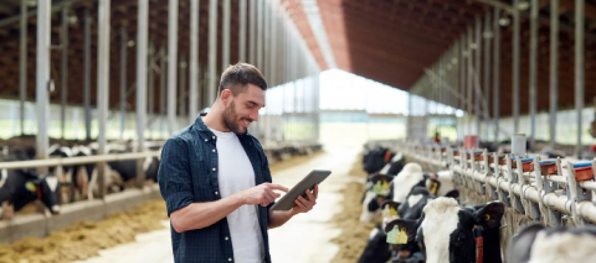 Young male farmer in milking shed looking at Ipad