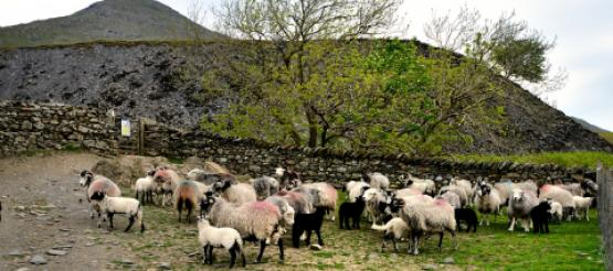Farm land with sheep
